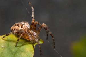 Araneus diadematus (Epeire diadème) en plein travail