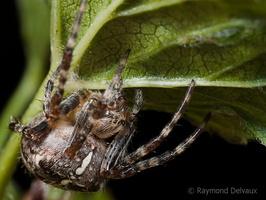 Araneus diadematus (Epeire diadème)