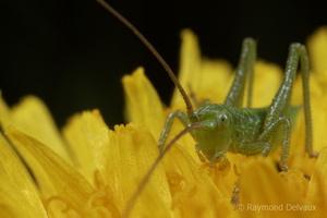 Mini-sauterelle dans une fleur de pissenlit