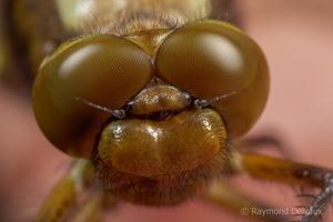 Libellula depressa (libellule déprimée)