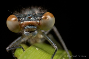 Platycnemis pennipes femelle immature