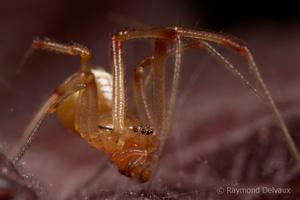 Araignée corse