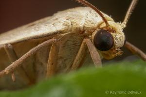 Petit papillon de nuit de Côte d'Opale