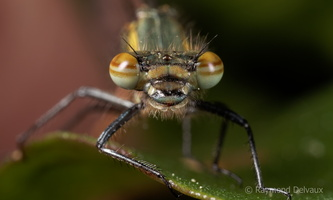 Pyrrhosoma nymphula mâle immature