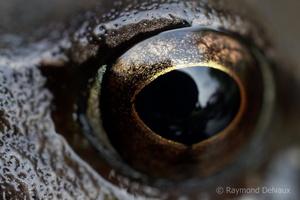 L'oeil de la grenouille