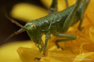 Jeune sauterelle sur pissenlit