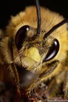 Portrait d'abeille