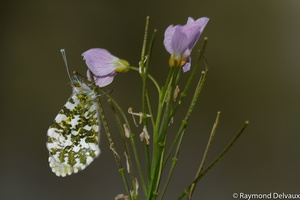 Anthocharis cardamines (Aurore)