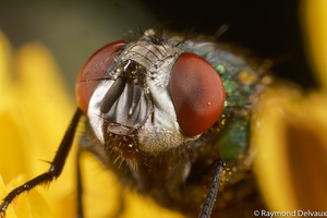 Portrait de mouche