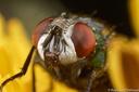 Diptères (non pollinisateurs)