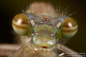 Pyrrhosoma nymphula immature