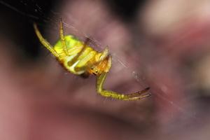 Araniella sp (araneidae)